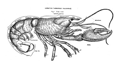 Illustration of a lobster in black and white